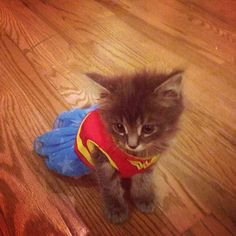 adorable kitten dressed up in wonder woman costume