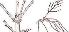 Jak prořezávat třešně a višně? - Užitková zahrada