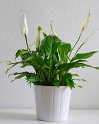 Peace Lily removes ammonia in the air.  Leaves are poisonous in large quantities.  Three diff varieties.  Low light, weekly watering, blooms year-round