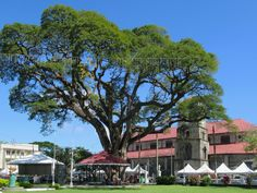 A centuries old tree stands on Derek Walcott Square opposite the Catholic Cathedral rebuilt in Castries, St. Castries St Lucia, Derek Walcott, Tree Stands, Caribbean, Catholic, Cathedral, Mansions, House Styles, Luxury Houses