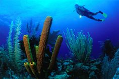 Diver over large blue tube sponges at Triple Anchors, Belize. www.facebook.com/wildcanadasalmon