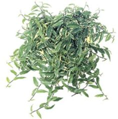 'hoja de plata' Ficus radicans