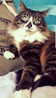LOST CAT: 02/09/2017 - Barking, Greater London, England, United Kingdom. Ref#: L36515 - #CritterAlert #LostPet #LostCat #MissingCat