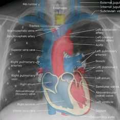 The essential working of the cardiovascular framework incorporates the manner in which the heart forms oxygen and supplements in the blood, which is called coronary course. Radiology Student, Radiology Imaging, Medical Imaging, Cardiac Nursing, Critical Care Nursing, Nursing School Notes, Medical School, Respiratory Therapy, Human Anatomy And Physiology