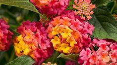 Proven Winners Luscious Berry Blend Lantana - This plant loves the heat. It's a great choice for dry climates and will tolerate less than ideal soils. Grows 24 to 36 inches tall. Plant in full sun.