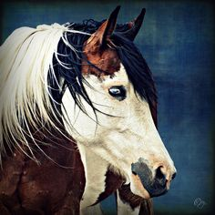 Beauty on Blue....Gypsy Vanner portrait