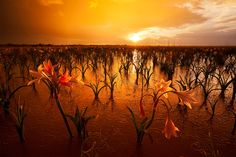 There is a 700 hectare mud pan in the Southern Region of Namibia that turns into an endless stand of lilies after the first heavy summer rains. The lilies germinate, grow and die in less than 10 days and hundreds of thousands of elephant beetles appear and dissapear with them. There hasn't been much scientific study of this unbelievable natural phenomenon, but something like this disappears quite easily in Namibia's endless variety of mindboggling natural anomalies...