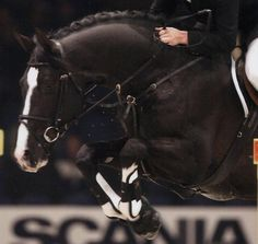 Richard  1998 17h  black imported KWPM stallion standing at Seafire Sporthorses  Approved BWP, OLD NA and AES
