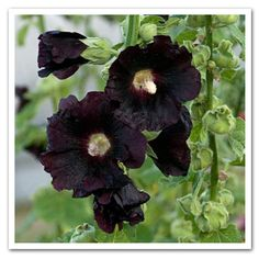 Blacknight Hollyhock, Alcea, is a perennial variety that produces large deep purple, almost black single flowers on sturdy stalks in summer. Local Nursery!!!