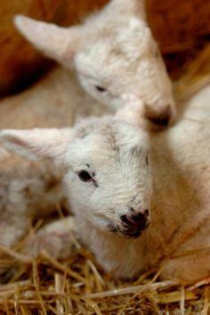 The precious lamb Farm Animals, Animals And Pets, Cute Animals, The White Album, Sheep And Lamb, Counting Sheep, Goat Farming, The Shepherd, Black Sheep
