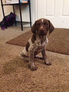 German shorthair pointer/chocolate lab mix | Things That ...
