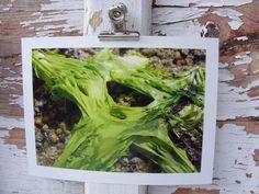 Alge, Bretagne, 2011  Abzug einer Originalfotografie, Format 13x18 mit weißem Rand