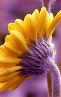 Ana Rosa / purple and yellow / colors Mellow Yellow, Shades Of Purple, Green And Purple, Sunflowers And Daisies, Yellow Flowers, Gerbera Daisies, Jaune Orange, Parcs, Belleza Natural