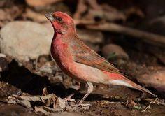 Common Rosefinch Carpodacus erythrinus   - Adult male