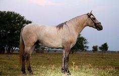 LEILÃO EVOLUÇÃO DA RAÇA - cavalo pantaneiro. Stallion Álamo da rancharia