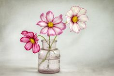 i love cosmos! and they reseed!!  they look sweet in any glass to display them.  I also love them in cobalt blue vases.
