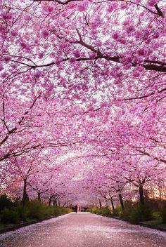 Cherry blossoms in Copenhagen!