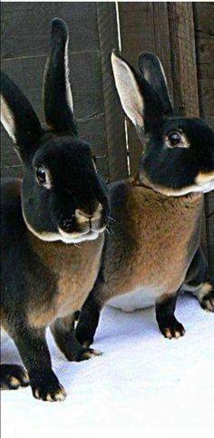Black Otter Rex Rabbit (Velveteen)