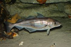 Haddock (melanogrammus aeglefinus) 35cm common length, 112cm maximum length