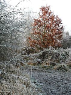 Oak Tree in the frozen countryside at Park Lime Pits, Aldridge, Walsall, England