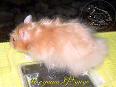 Double Satin: pp uu ll SaSa Pet Rodents, Funny Hamsters, Hamster Treats, Syrian Hamster, Cute Animals, Satin, Coats, Pretty Animals, Wraps