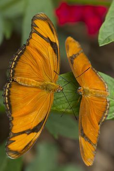 Julia Longwing Butterflies (Dryas julia) Central and South America Beautiful Bugs, Beautiful Butterflies, Amazing Nature, Flying Flowers, Butterflies Flying, Butterfly Species, Amor Animal, Moth Caterpillar, Flying Insects