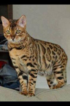 Bengal cat. Via Nature's Finest Captures -fb