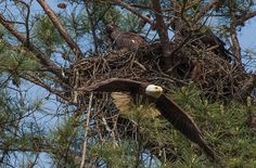 This site is really great! You get to watch live bald eagles!