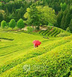 Boseong Tea Plantation, Korea!