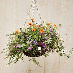 A. Osteospermum 'Symphony Orange' -- 2  B. Licorice vine (Helichrysum petiolare) -- 2  C. Bacopa (Sutera 'Abunda Blue') -- 2  D. Verbena 'Aztec Grape Magic'