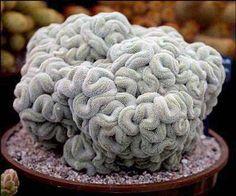 Mammillaria Elongata Monstrosus - Brain Cactus.