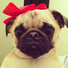 ~pug with a red hair bow~
