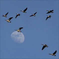 Wild Geese That Fly With The Moon On Their Wings These Are A Few Of My Favorite Things