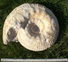 Gravesia gravesiana (Orbigny 1850)Tithonian Aube France uploaded in Ammonites: Gravesia gravesiana (Orbigny 1850)Tithonian Aube France