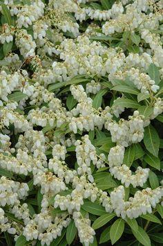 Cavatine Dwarf Pieris Japonica.  Small Evergreen Shrub.  2-3' W 2-3' T.  Part shade.