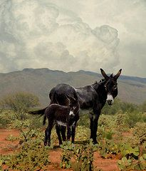 Burros Art - Wild Burros of Tucson by Schwartz