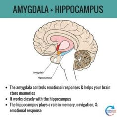 Stress, Hippocampus Brain, Brain Anatomy And Function, Brain Science, Science Education, Physical Education, Brain Facts, Human Anatomy And Physiology, Medical Anatomy