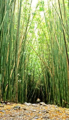 Bamboo forest in Maui, Hawaii! Click through to see 27 of the most incredible places to visit in Hawaii!