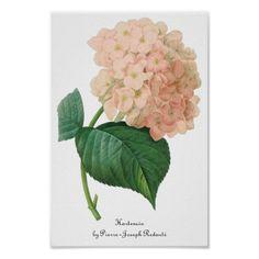 De vintage Roze Bloem van Hortensia van de Poster
