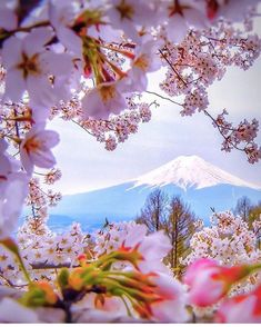 Cherry blossoms framing Mt. Fuji in Japan. Photo by @capkaieda by exploration.vibes