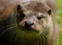 Otter Frown by Peter G Trimming, via Flickr