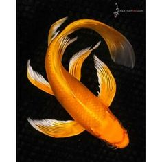 "9"" Orenji Matsuba Butterfly Koi 1 Pretty Fish, Beautiful Fish, Koi Art, Fish Art, Koi Fish For Sale, Koy Fish, Butterfly Koi, Koi Painting, Goldfish Pond"