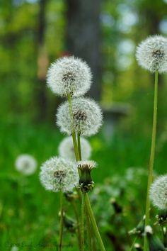 Bouquet of Dandelion Fluff Flower Seed Heads by EarthAngelsPhotos