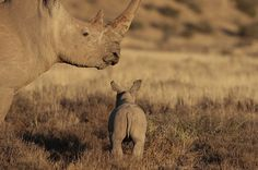 Rhino with Baby in Kruger National Park, South Africa by Michael H Viljoen on Flickr.