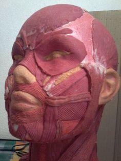 Maqueta musculos de cabeza y cuello
