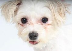 Adopt Oakley, a lovely 2 years  7 months Dog available for adoption at Petango.com.  Oakley is a Maltese and is available at the National Mill Dog Rescue in Colorado Springs, Co. www.milldogrescue... #adoptdontshop #puppymilldog #rescue #adoptyourfriendtoday