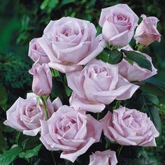 Blue Moon climbing rose  can be pink, lavender and shades between