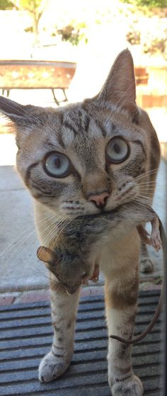 A thank you would suffice. Crazy Cat Lady, Crazy Cats, Siamese Cats, Cats And Kittens, Animals Beautiful, Cute Animals, Matou, Mundo Animal, Domestic Cat