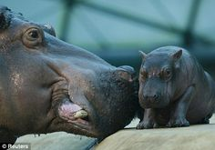 baby Hippo and his mama