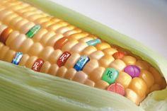 ¡Alerta: Los cultivos transgénicos en España han aumentado un 19%!